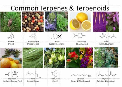 common terpenes and terpenoids